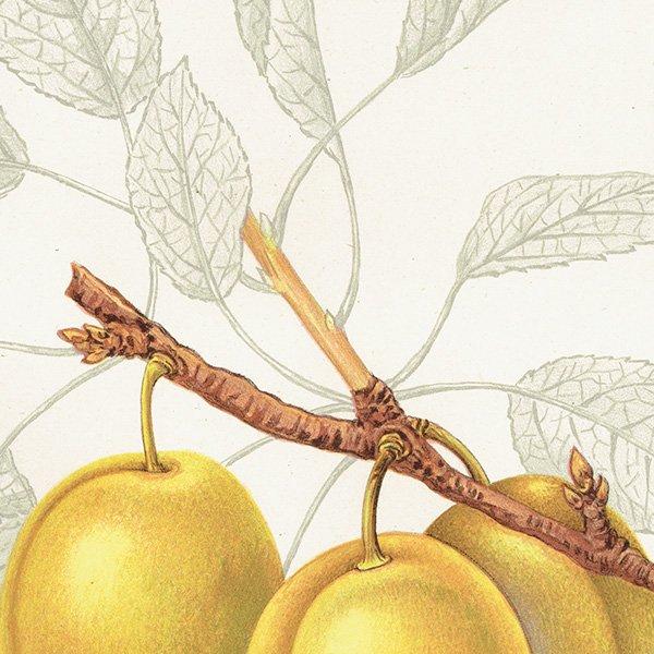スウェーデン プラムのアンティークボタニカルプリント(Plum)果実学 植物画 0418
