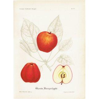 スウェーデン リンゴのアンティークボタニカルプリント(アップル) 果実学 植物画 0420