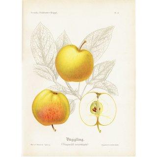 スウェーデン リンゴのアンティークボタニカルプリント(アップル) 果実学 植物画 0421