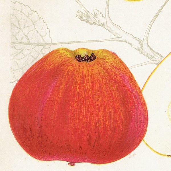 スウェーデン リンゴのアンティークボタニカルプリント(アップル) 果実学 植物画 0422