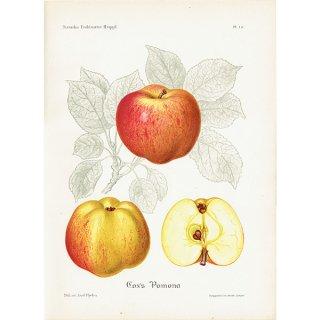 スウェーデン リンゴのアンティークボタニカルプリント(アップル) 果実学 植物画 0423