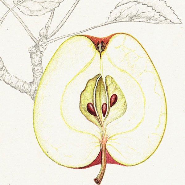 スウェーデン リンゴのアンティークボタニカルプリント(アップル) 果実学 植物画 0424
