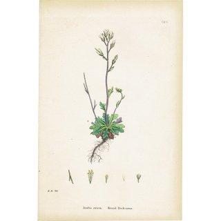 イギリス ボタニカルプリント/植物画 Arabis stricta(アブラナ科の植物). plate.114,1863JOHN EDWARD SOWERBY 0425