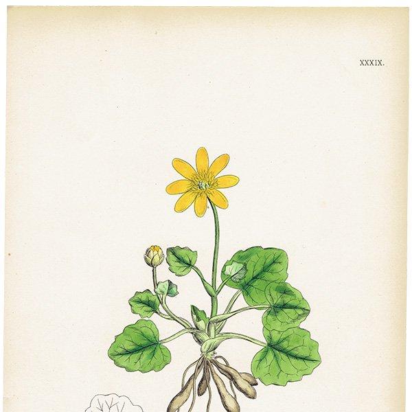 イギリス ボタニカルプリント/植物画 Ranunculus eu-Ficaria(キクザキリュウキンカ). plate.39,1863JOHN EDWARD SOWERBY 0426