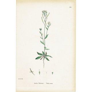 イギリス ボタニカルプリント/植物画 Arabis Thaliana(シロイヌナズナ). plate.115,1863JOHN EDWARD SOWERBY 0427