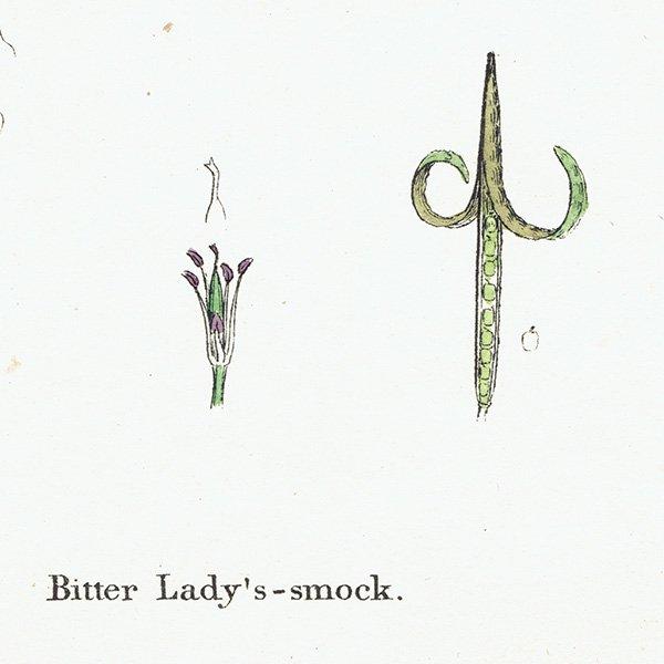 イギリス ボタニカルプリント/植物画 Cardamine amara(カルダミネ・アマラ). plate.108,1863JOHN EDWARD SOWERBY 0428