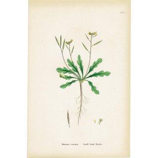 イギリス ボタニカルプリント/植物画 Brassica viminea. plate.95,1863JOHN EDWARD SOWERBY 0429