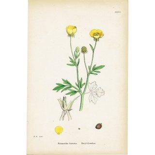 イギリス ボタニカルプリント/植物画 Ranunculus hirsutus(ラナンキュラス). plate.36,1863JOHN EDWARD SOWERBY 0430