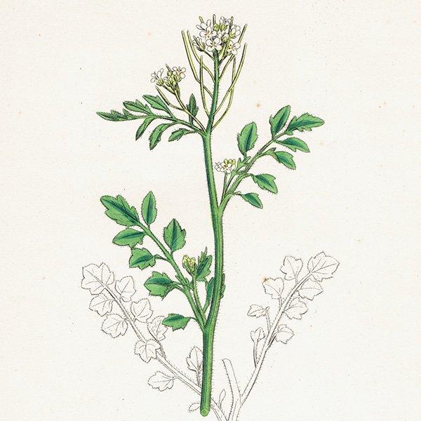 イギリス ボタニカルプリント/植物画 Cardamine sylvatica(タネツケバナ). plate.111,1863JOHN EDWARD SOWERBY 0431
