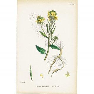 イギリス ボタニカルプリント/植物画 Brassica Sinapistrum(ノハラガラシ). plate.83,1863JOHN EDWARD SOWERBY 0432