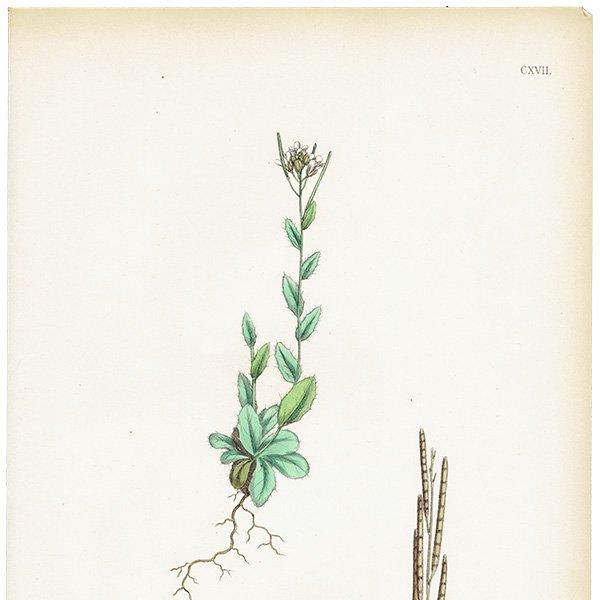 イギリス ボタニカルプリント/植物画 Arabis ciliata(ノハラガラシ). plate.117,1863JOHN EDWARD SOWERBY 0433