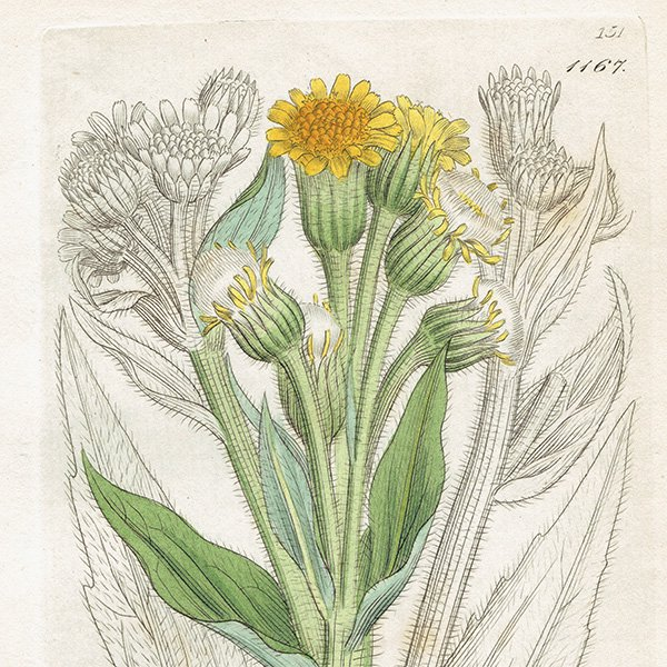 イギリス ボタニカルプリント/植物画 Cineraria palustris(シネラリア). plate.1167,1839 JAMES SOWERBY 0434