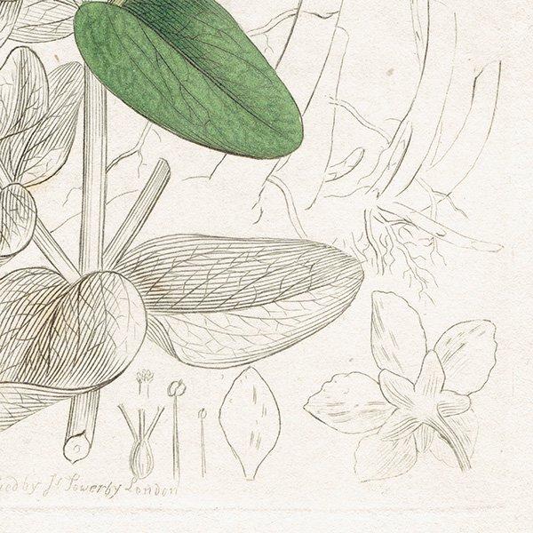 イギリス ボタニカルプリント/植物画 Hypericum dubium(ヒペリカムの仲間). plate.1054,1839 JAMES SOWERBY 0435