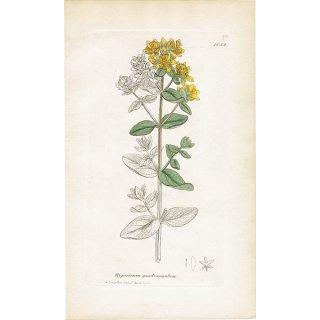 イギリス ボタニカルプリント/植物画 Hypericum quadrangulum(オトギリソウ科). plate.1052,1839 JAMES SOWERBY 0436