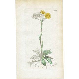 イギリス ボタニカルプリント/植物画 Cineraria campestris(オカオグルマ). plate.1168,1839 JAMES SOWERBY 0437