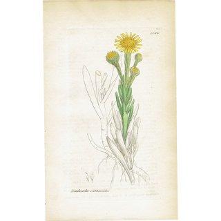 イギリス ボタニカルプリント/植物画 Limbarda crithmoides(ゴールデン・サンファイア). plate.1166,1839 JAMES SOWERBY 0438