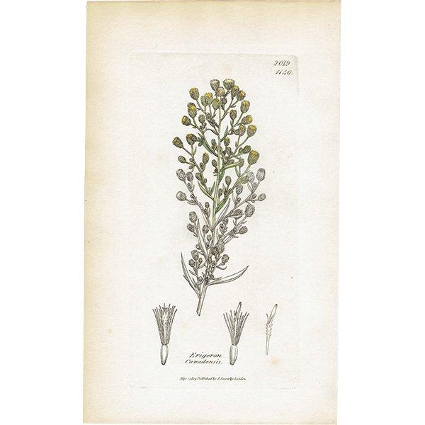 イギリス ボタニカルプリント/植物画 Erigeron canadensis(ヒメムカシヨモギ). plate.1146,1839 JAMES SOWERBY 0439