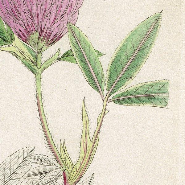 イギリス ボタニカルプリント/植物画 Trifolium medium(オオバノアカツメクサ). plate.1032,1839 JAMES SOWERBY 0440
