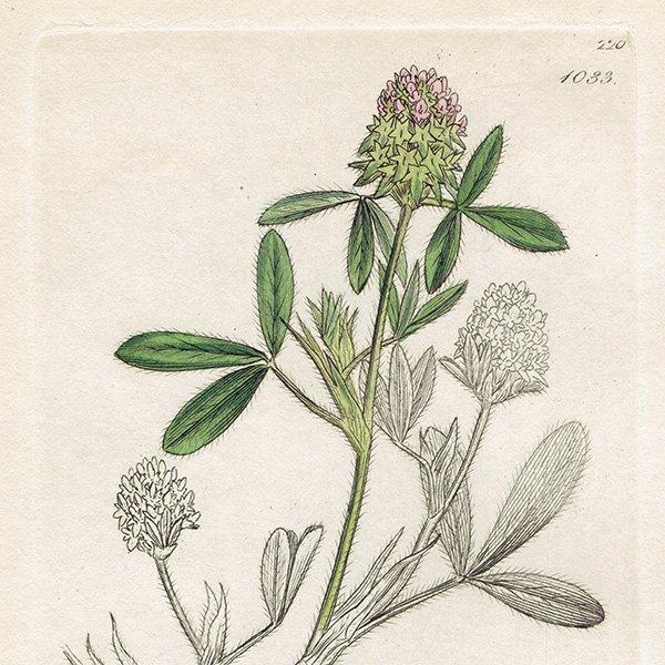 イギリス ボタニカルプリント/植物画 Trifolium maritimum(ムラサキツメクサ). plate.1033,1839 JAMES SOWERBY 0441