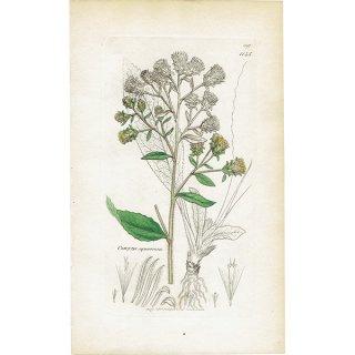 イギリス ボタニカルプリント/植物画 Conyza squarrosa(Inula conyza). plate.1145,1839 JAMES SOWERBY 0442