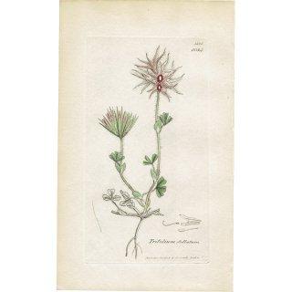 イギリス ボタニカルプリント/植物画 Trifolium stellatum(トリフォリウム・ステラツム). plate.1034,1839 JAMES SOWERBY 0443