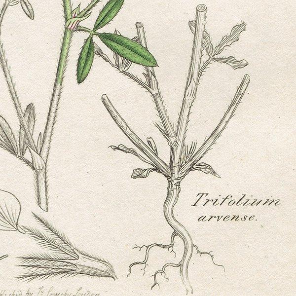 イギリス ボタニカルプリント/植物画 Trifolium arvense(トリフォリュウム・アルヴェンセ). plate.1034,1839 JAMES SOWERBY 0444