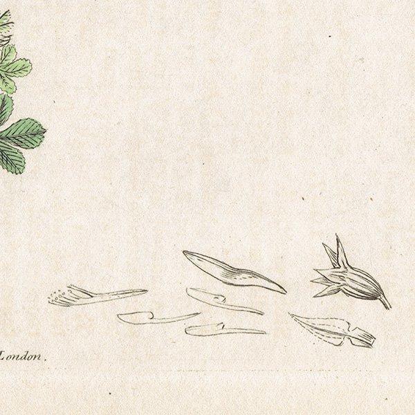 イギリス ボタニカルプリント/植物画 Trifolium glomeratum(ダンゴツメクサ). plate.1037,1839 JAMES SOWERBY 0446