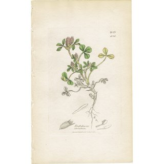 イギリス ボタニカルプリント/植物画 Trifolium striatum(ハクモウアカツメクサ). plate.1038,1839 JAMES SOWERBY 0447