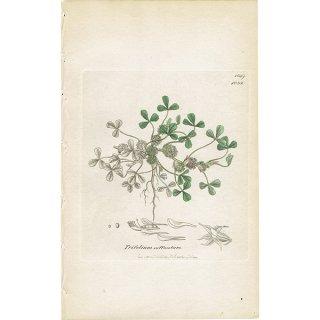 イギリス ボタニカルプリント/植物画 Trifolium suffocatum(カタバミツメクサ). plate.1039,1839 JAMES SOWERBY 0448
