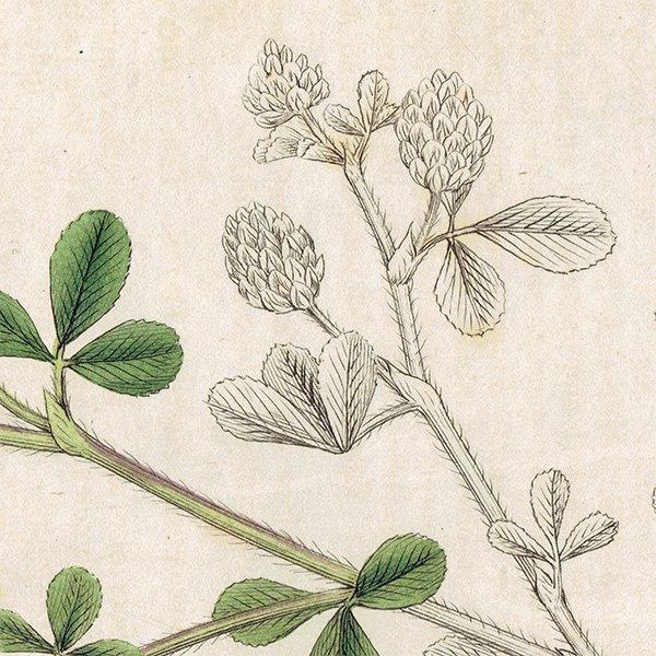 イギリス ボタニカルプリント/植物画 Trifolium procumbens(クスダマツメクサ). plate.1041,1839 JAMES SOWERBY 0449