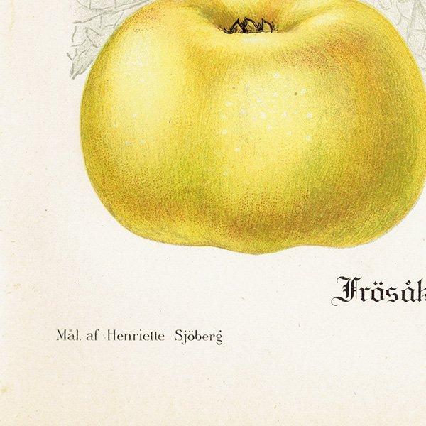 スウェーデン リンゴのアンティークボタニカルプリント(アップル) 果実学 植物画 0450
