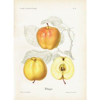 スウェーデン リンゴのアンティークボタニカルプリント(アップル) 果実学 植物画 0451