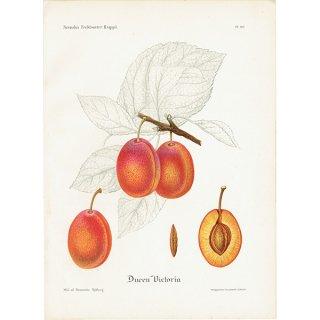 スウェーデン プラムのアンティークボタニカルプリント(Plum)果実学 植物画 0452
