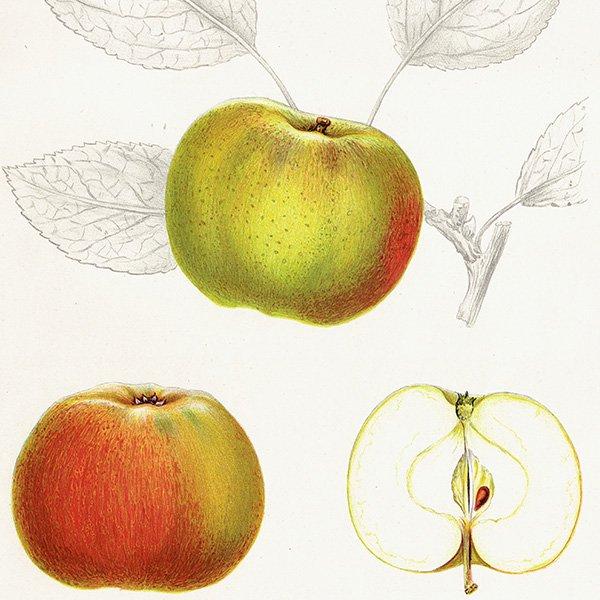 スウェーデン リンゴのアンティークボタニカルプリント(アップル) 果実学 植物画 0453