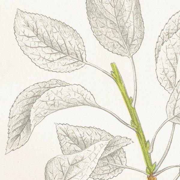 スウェーデン プラムのアンティークボタニカルプリント(Plum)果実学 植物画 0455