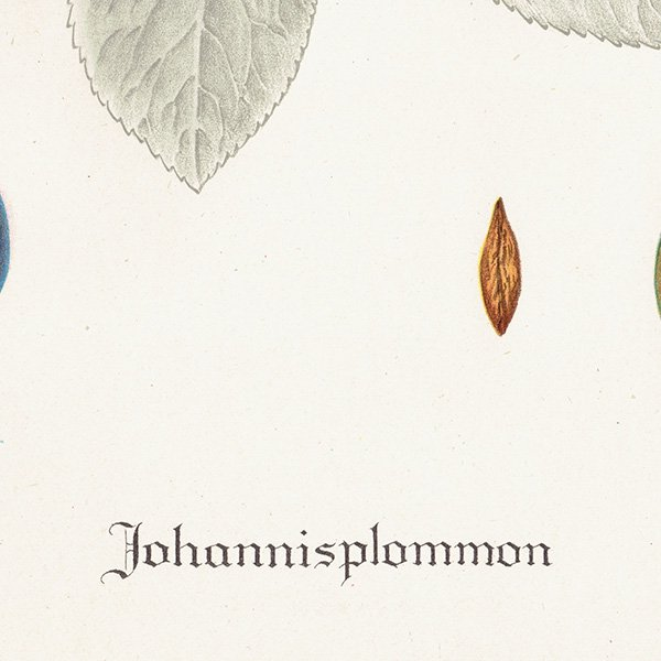 スウェーデン プラムのアンティークボタニカルプリント(Plum)果実学 植物画 0456