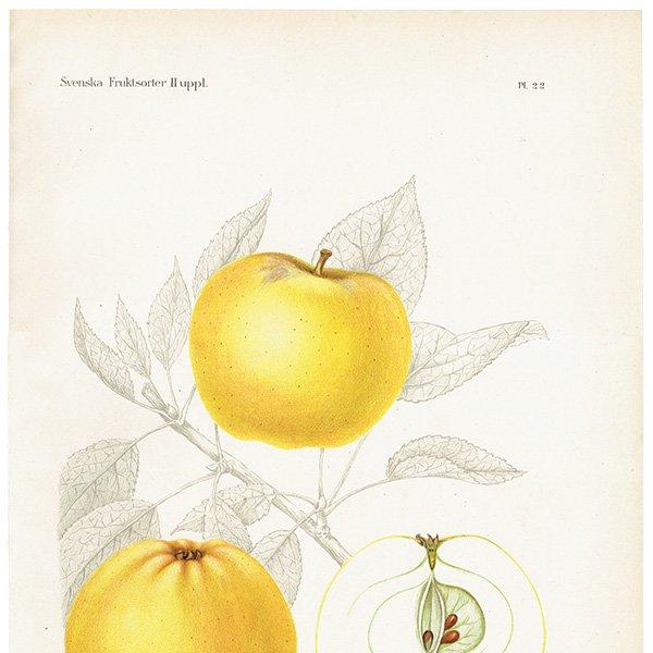スウェーデン リンゴのアンティークボタニカルプリント(アップル) 果実学 植物画 0457