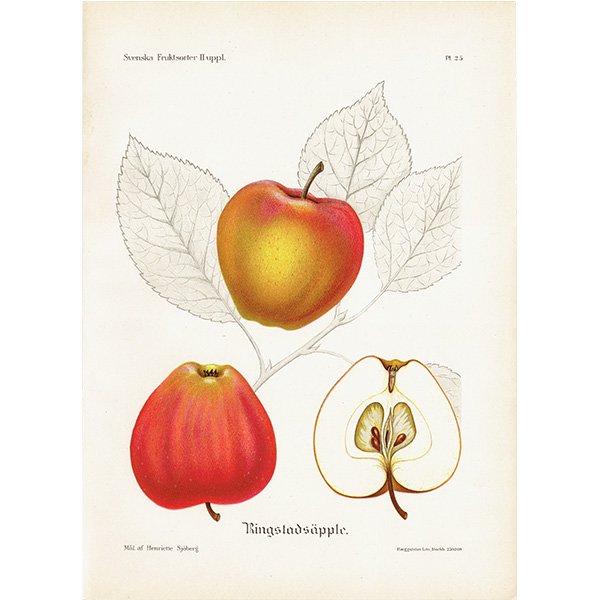 スウェーデン リンゴのアンティークボタニカルプリント(アップル) 果実学 植物画 0458