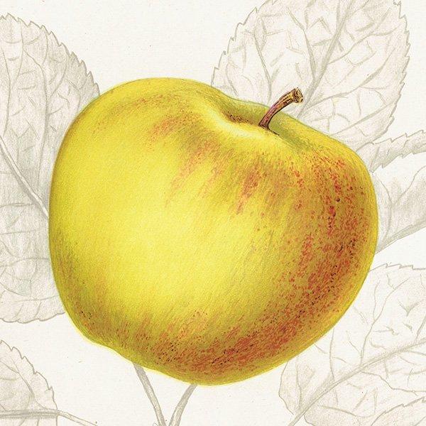 スウェーデン リンゴのアンティークボタニカルプリント(アップル) 果実学 植物画 0459
