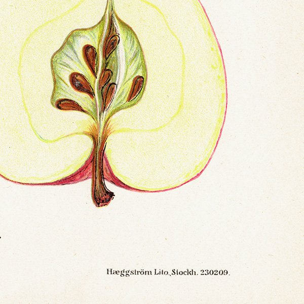 スウェーデン リンゴのアンティークボタニカルプリント(アップル) 果実学 植物画 0460
