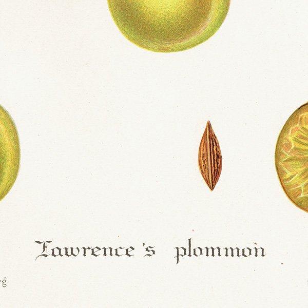 スウェーデン プラムのアンティークボタニカルプリント(Plum)果実学 植物画 0462