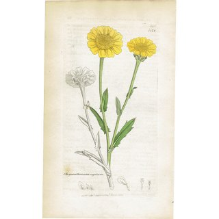 イギリス ボタニカルプリント/植物画 Chrysanthemum segetum(アラゲシュンギク). plate.1172,1839 JAMES SOWERBY 0469