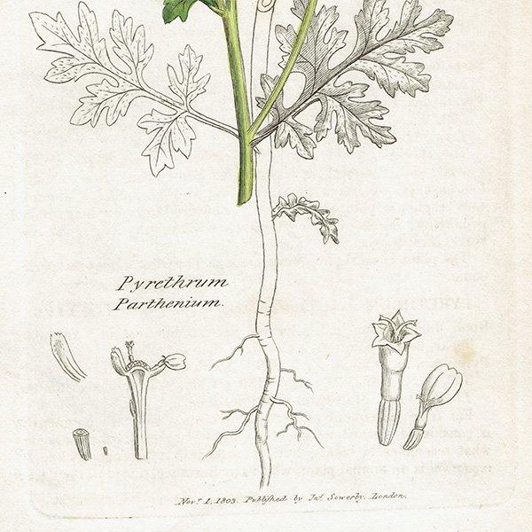 イギリス ボタニカルプリント/植物画 Pyrethrum Parthenium(ナツシロギク). plate.1173,1839 JAMES SOWERBY 0470