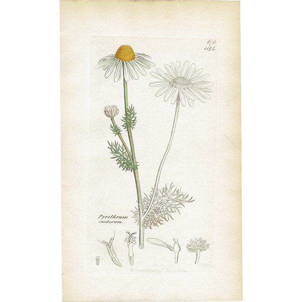 イギリス ボタニカルプリント/植物画 Pyrethrum inodorum(イヌカミツレ). plate.1174,1839 JAMES SOWERBY 0471