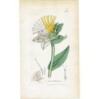イギリス ボタニカルプリント/植物画 Inula Helenium(オオグルマ). plate.1163,1839 JAMES SOWERBY 0472