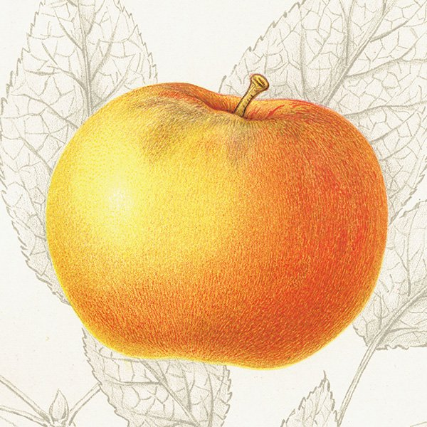 スウェーデン リンゴのアンティークボタニカルプリント(アップル) 果実学 植物画 0463