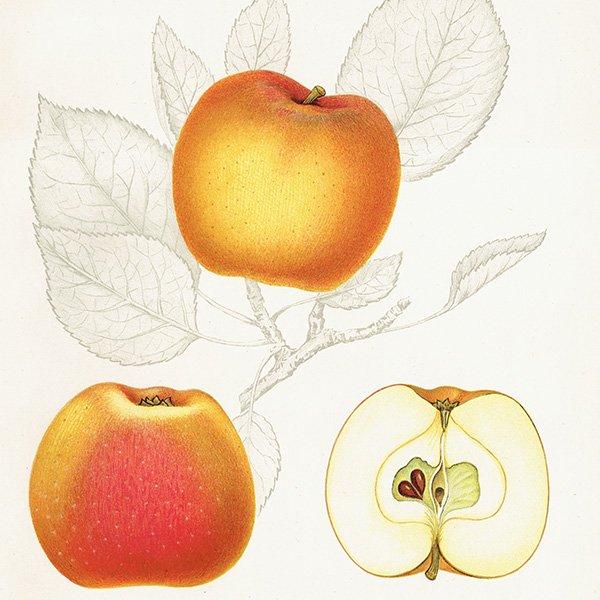 スウェーデン リンゴのアンティークボタニカルプリント(アップル) 果実学 植物画 0465