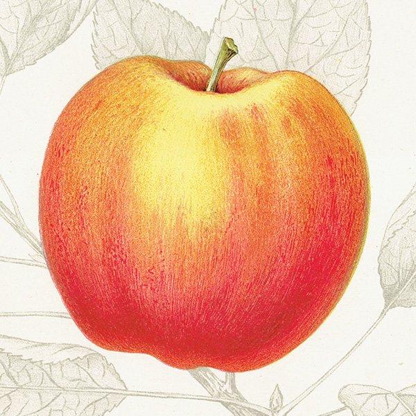 スウェーデン リンゴのアンティークボタニカルプリント(アップル) 果実学 植物画 0466