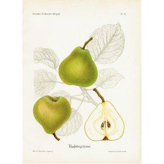 スウェーデン 洋梨のアンティークボタニカルプリント(ナシ)果実学 植物画 0467