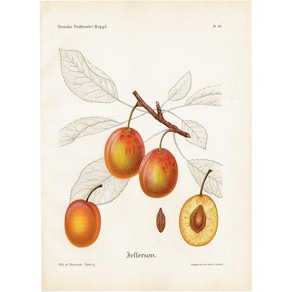 スウェーデン プラムのアンティークボタニカルプリント(Plum)果実学 植物画 0468